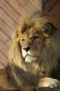 Feel like a lion